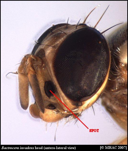 Fruit fly anatomy