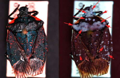 Specimen of the Pentatomidae, Halyomorpha sp. Left in white light, right under UV-light. The red arrows show the parts that are affected by fungus, only visible with the UV light.