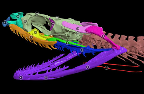 Annotated 3D model of a grass snake skull
