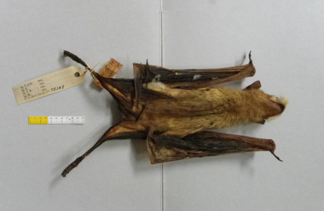 Bat specimen of Hipposideros gigas viegasi