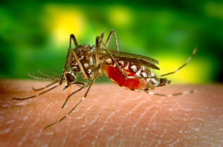 DNA of exotic mosquitoes under scrutiny