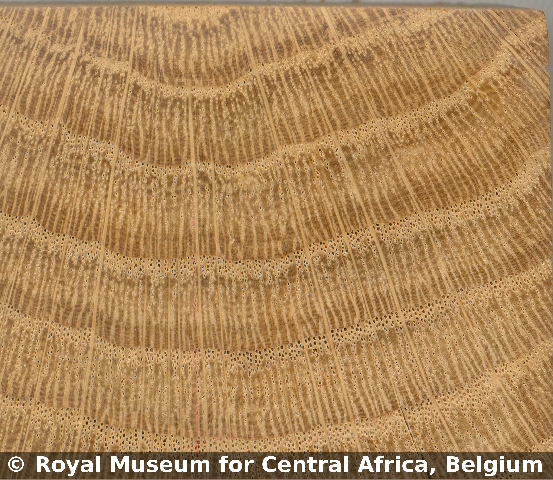 Tervuren Xylarium Wood Database | Royal Museum for Central Africa